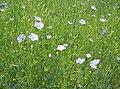 Flax - geograph.org.uk - 499918.jpg