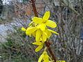 Fleurs de forsythia à Grez-Doiceau 001.jpg
