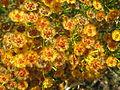 Fleurs jaunes WA.jpg