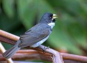 Flickr - Dario Sanches - COLEIRINHO macho (Sporophila caerulescens) (1)