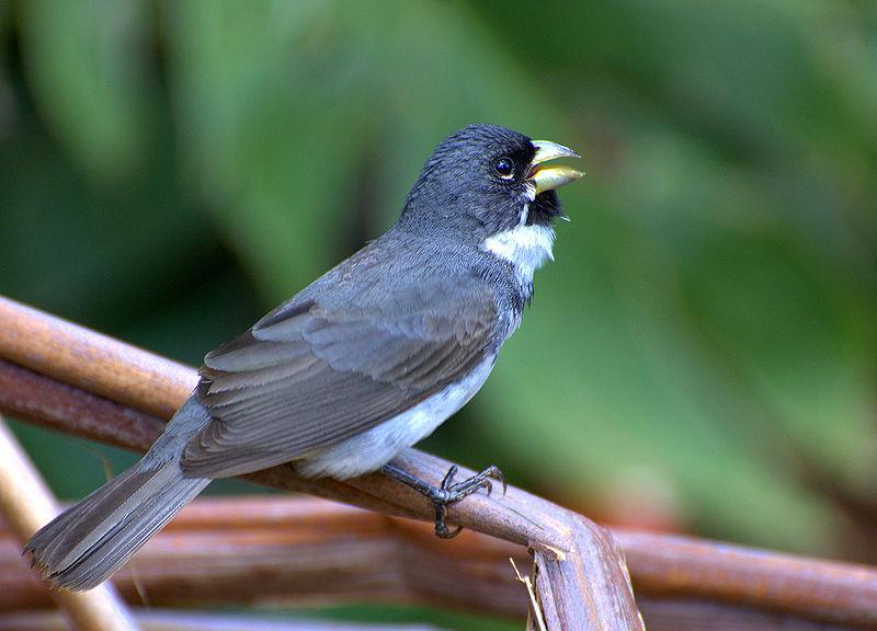 Ficheiro:Flickr - Dario Sanches - COLEIRINHO macho (Sporophila caerulescens) (1).jpg