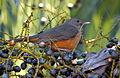 Flickr - Dario Sanches - SABIÁ-LARANJEIRA (Turdus rufiventris) (16).jpg