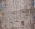 Flickr - João de Deus Medeiros - Erythrina verna (2).jpg