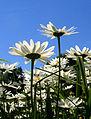 Flickr - Per Ola Wiberg ~ mostly away - prästkragar ~ daisies.jpg