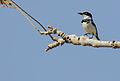 Flickr - Rainbirder - Senegal Batis (Batis senegalensis) (1).jpg