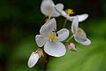 Flickr - ggallice - Begonias (2).jpg