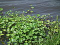 Flora of Tanzania 4287 Nevit.jpg