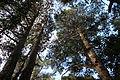 Floresta Negra no Parque das Sequoias em Canela - RS.JPG