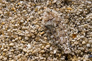 A flounder blends in with its surroundings.