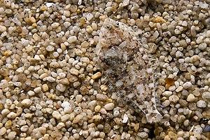 Flatfish - A camouflaged flatfish.