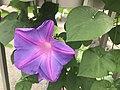 Flower of Ipomoea nil 20190822-2.jpg