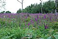 Flowering foxgloves - geograph.org.uk - 1367406.jpg