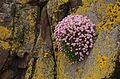 Flowers 2014 - Trip to the Isle of May (14160807591).jpg