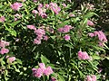 Flowers of Spiraea japonica 20170929.jpg