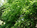 Forêt de la Robertsau-Frêne (1).JPG