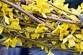 Forsythia x intermedia Lynwood Gold 3zz.jpg