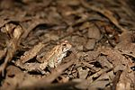 Fowlers Toad - side view.jpg