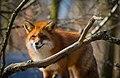Fox (26561173144).jpg
