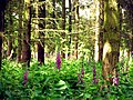 Foxgloves in Woodland - geograph.org.uk - 18557.jpg