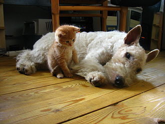 Dog–cat relationship - A kitten and a dog that have been socialized and interact with each other without aggression.