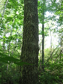 Image of black ash trunk. Tree is located in a seasonally wet, riparian habitat near a small-scale stream. Tree bark is corky and spongy.