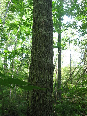 Fraxinus nigra - Image of black ash trunk. Tree is located in a seasonally wet, riparian habitat near a small-scale stream. Tree bark is corky and spongy.