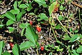 Fragaria virginiana (wild strawberry) (Great Smoky Mountains, Tennessee, USA) 2 (36202794514).jpg