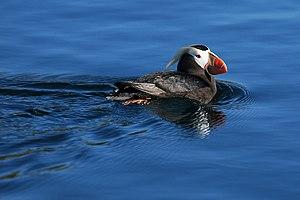 Protection Island National Wildlife Refuge - Image: Fratercula cirrhata, Protection Island NWR, Washington, USA