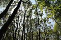 Fraxinus excelsior forest Ojców.JPG