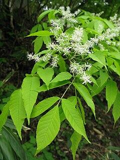 <i>Fraxinus lanuginosa</i> Species of ash