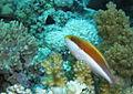 Freckled hawkfish, Paracirrhites forsteri, sitting on its perch watching for prey. (6163708956).jpg