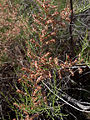 French Tamarisk (Tamarix gallica) (5797410267).jpg