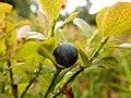 Fruit de myrtille.jpg