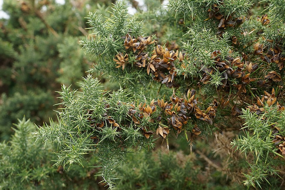 Fruiting Gorse - Flickr - Tatters ❀