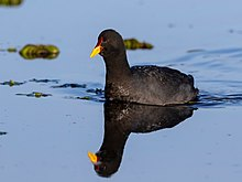 Fulica rufifrons - Red-fronted coot; Punta del Este, Uruguay.jpg