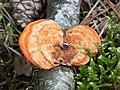 Fungi, gmina Tuczno (2).jpg
