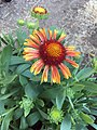 Gaillardia-arizona-red-shades-2731.jpg