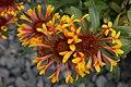 Gaillardia x grandiflora Mandarin 3zz.jpg