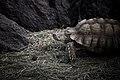 Galapagos Tortoise (2371879517).jpg