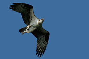 English: Osprey in flight with fresh fish in t...