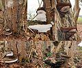 Ganoderma adspersum or G. australe or G.tornatum (GB= Polyporus Australis or Southern Bracket, D= Wulstige Lackporling, F= Ganoderme d'Europe, NL= Dikrandtonderzwam) brown spores and causes white rot, near Golfclub Ed - panoramio.jpg