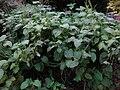 Gardenology.org-IMG 2501 ucla09.jpg