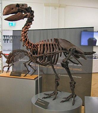 Gastornis - Reconstructed G. geiselensis skeleton