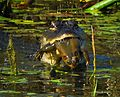 Gator with bullfrog at Lake Woodruff - Flickr - Andrea Westmoreland.jpg