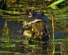 giant north american bullfrog