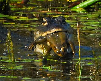 American bullfrog - Alligator feeding on a bullfrog