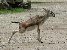 Gazella subgutturosa streaching baby.JPG