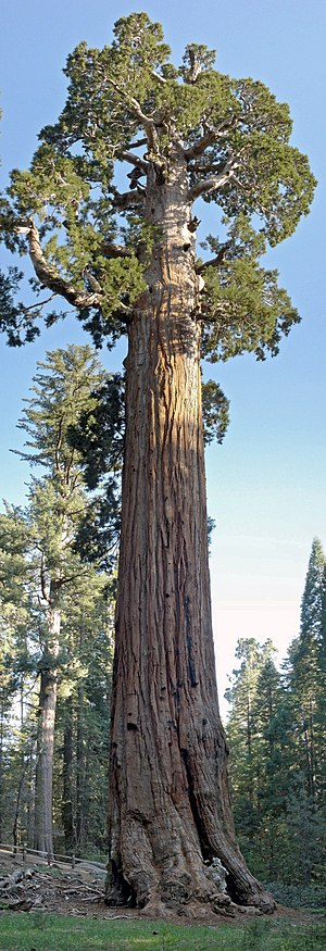 Sequoiadendron - The General Grant tree in Kings Canyon National Park