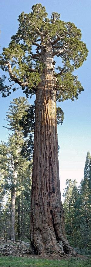 Image of Sequoiadendron#: http://dbpedia.org/resource/Sequoiadendron