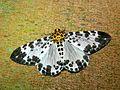 Geometrid Moth (Dilophodes elegans) (8406528600).jpg